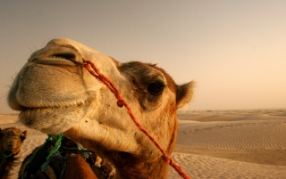 Camel close up wallpapers and stock photos