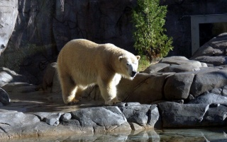 Lonely polar bear wallpapers and stock photos