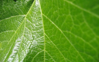 Grape leaf wallpapers and stock photos