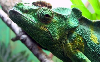 Green iguana wallpapers and stock photos