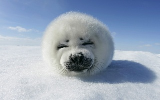 Harp Seal Pup wallpapers and stock photos