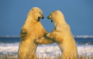Sparring Polar Bears wallpapers and stock photos