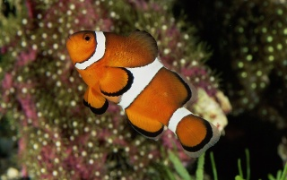 Percula clownfish wallpapers and stock photos