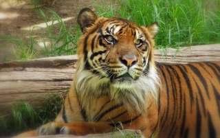 Big Cats 001 wallpapers and stock photos