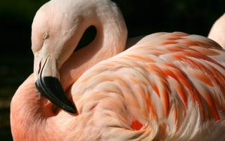 Chilean flamingo wallpapers and stock photos