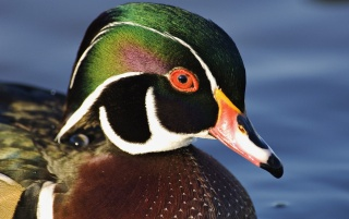 Next: Male Wood duck