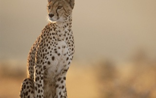 Random: Female cheetah