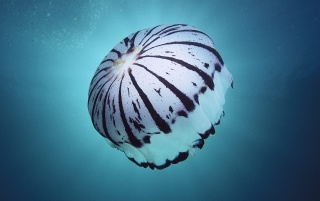 White jellyfish wallpapers and stock photos