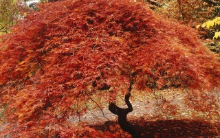 Japanese maple wallpapers and stock photos