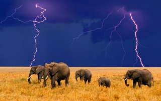 Elephants in the field wallpapers and stock photos
