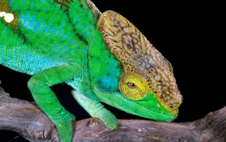Green chameleon wallpapers and stock photos