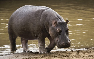 Hippo in Africa wallpapers and stock photos