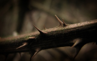 Branch thorns wallpapers and stock photos