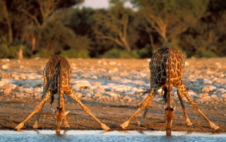 Previous: Thirsty giraffes