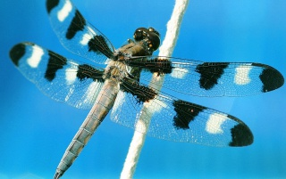 Dragonfly with spots wallpapers and stock photos