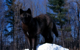 Random: Black Wolf in the Snow