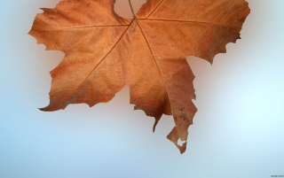 Autumn leaf wallpapers and stock photos