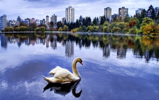 City lake swan wallpapers and stock photos