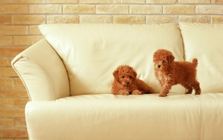 Two puppies on sofa wallpapers and stock photos