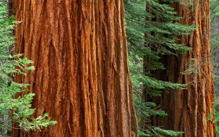 Giant Sequoia Trees wallpapers and stock photos