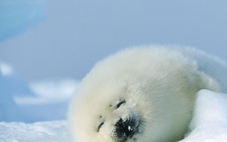 Harp Seal wallpapers and stock photos