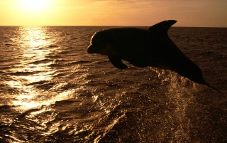 Dolphin in the sunset wallpapers and stock photos