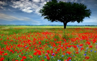 Random: Red poppy field