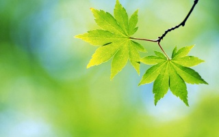 Two spring leaves wallpapers and stock photos