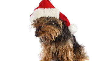 Xmas dog wallpapers and stock photos