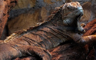Reptile on rock wallpapers and stock photos