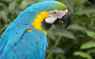 Blue Macaw Parrot wallpapers and stock photos