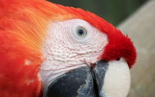 Next: Red Macaw Face