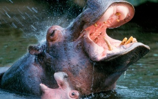 Bathing hippos wallpapers and stock photos