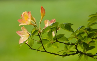 Beautiful azaleas wallpapers and stock photos