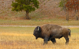 Bison in the field wallpapers and stock photos