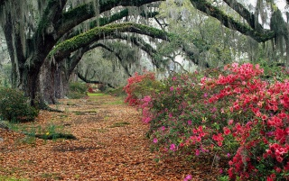 Azaleas and live oaks wallpapers and stock photos