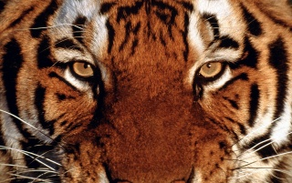Tiger portrait wallpapers and stock photos