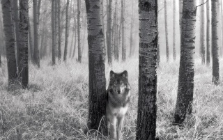 Stalking wolf wallpapers and stock photos