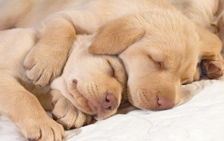 Sleeping puppies wallpapers and stock photos