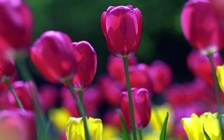 Colorful tulips wallpapers and stock photos
