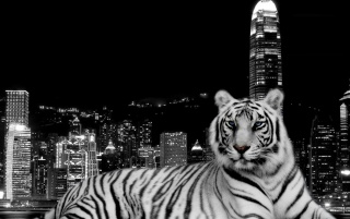 Tiger and the city wallpapers and stock photos