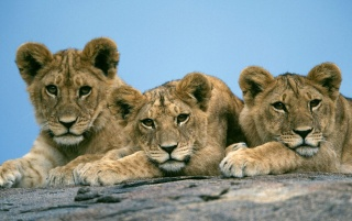 Lion cubs wallpapers and stock photos