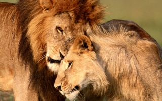 Lion affection wallpapers and stock photos