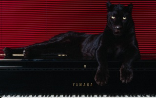 Big cat on piano wallpapers and stock photos