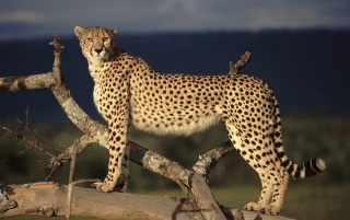 Cheetah scouting wallpapers and stock photos