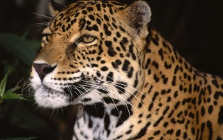 Leopard meditating wallpapers and stock photos