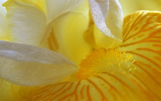 Yellow iris wallpapers and stock photos
