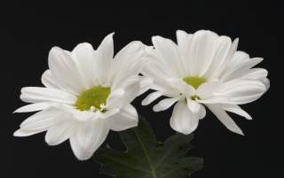 Two white flowers wallpapers and stock photos