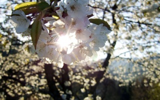 Cherry flowers wallpapers and stock photos