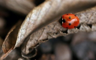 Small ladybug wallpapers and stock photos